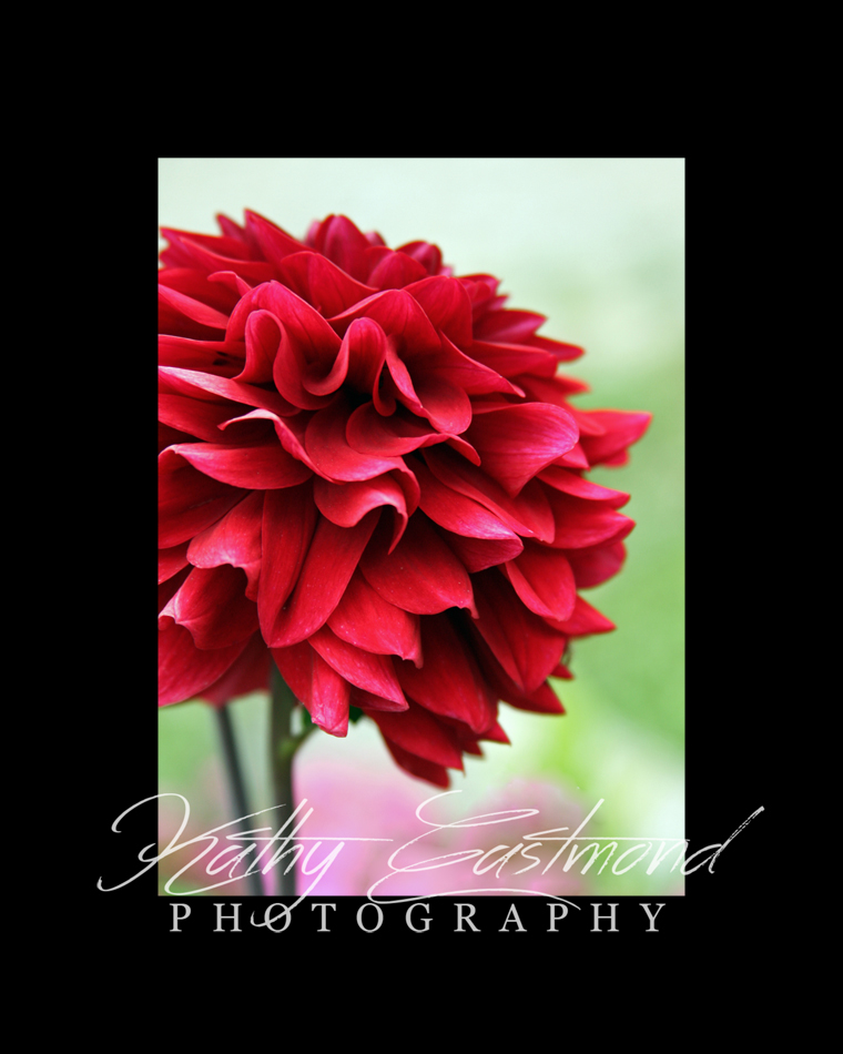 """Delightful Dahlia"" 5x7 print mounted on a black 8x10 acid-free matte for $20 with free shipping within the U.S.  (Kathy Eastmond's signature will replace the copyright  logo )"