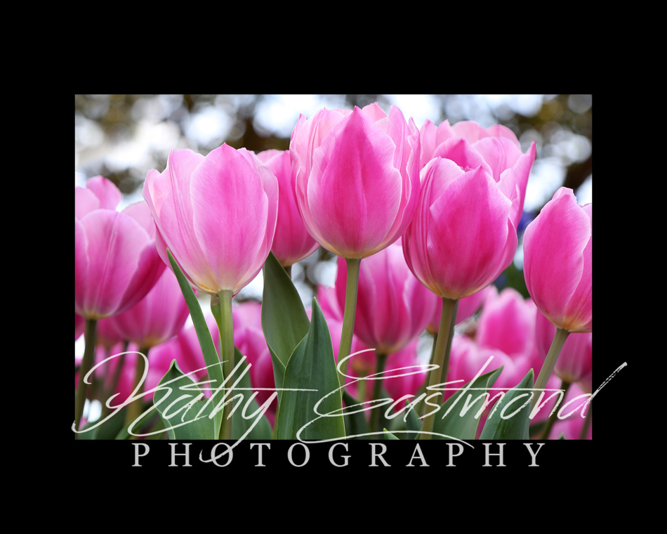 """""""Tulips"""" 5x7 print mounted on a black 8x10 acid-free matte for $20 with free shipping within the U.S.  (Kathy Eastmond's signature will replace the copyright  logo )"""