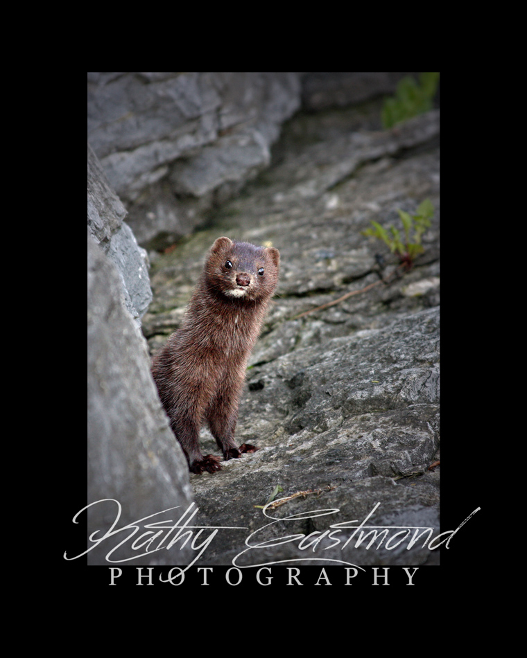 """Mink"" 5x7 print mounted on a black 8x10 acid-free matte for $20 with free shipping within the U.S.  (Kathy Eastmond's signature will replace the copyright  logo )"