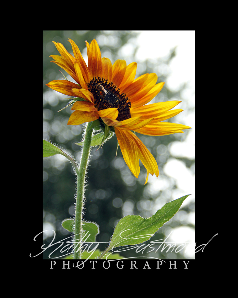 """Sunflower with Bee"" 5x7 print mounted on a black 8x10 acid-free matte for $20 with free shipping within the U.S.  (Kathy Eastmond's signature will replace the copyright  logo )"