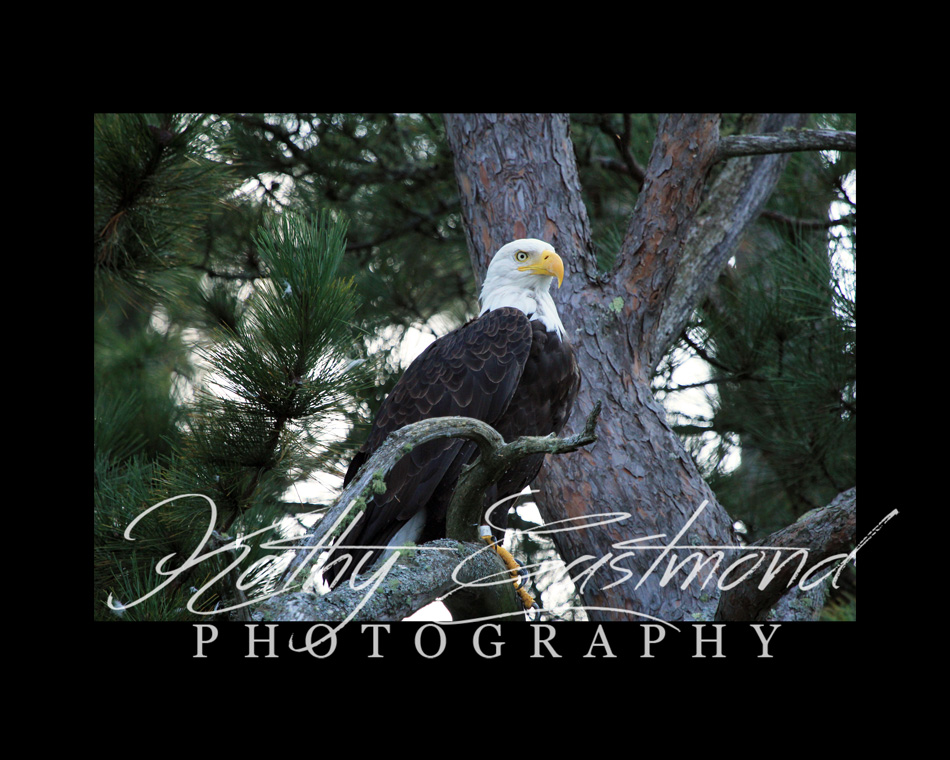 """Saranac Lake Eagle"" 5x7 print mounted on a black 8x10 acid-free matte for $20 with free shipping within the U.S.  (Kathy Eastmond's signature will replace the copyright  logo )"