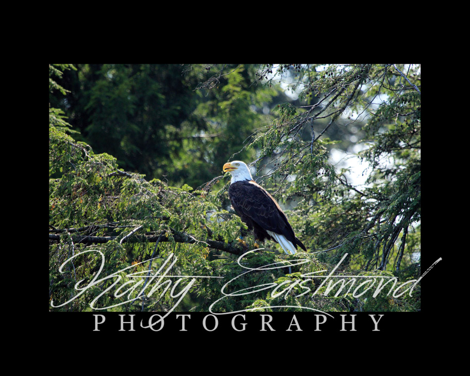 """Saranac Eagle"" 5x7 print mounted on a black 8x10 acid-free matte for $20 with free shipping within the U.S.  (Kathy Eastmond's signature will replace the copyright  logo )"