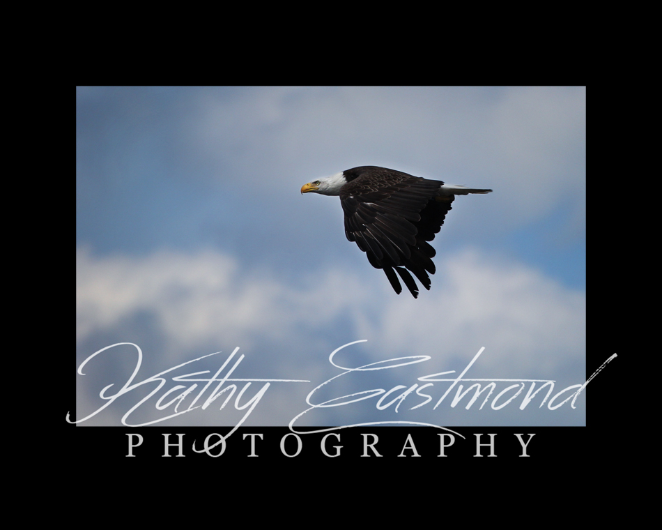 """""""Soaring Eagle"""" 5x7 print mounted on a black 8x10 acid-free matte for $20 with free shipping within the U.S.  (Kathy Eastmond's signature will replace the copyright logo)"""