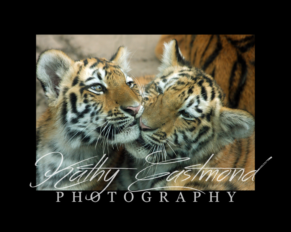 """""""Tiger Cubs"""" 5x7 print mounted on a black 8x10 acid-free matte for $20 with free shipping within the U.S.  (Kathy Eastmond's signature will replace the copyright  logo )"""