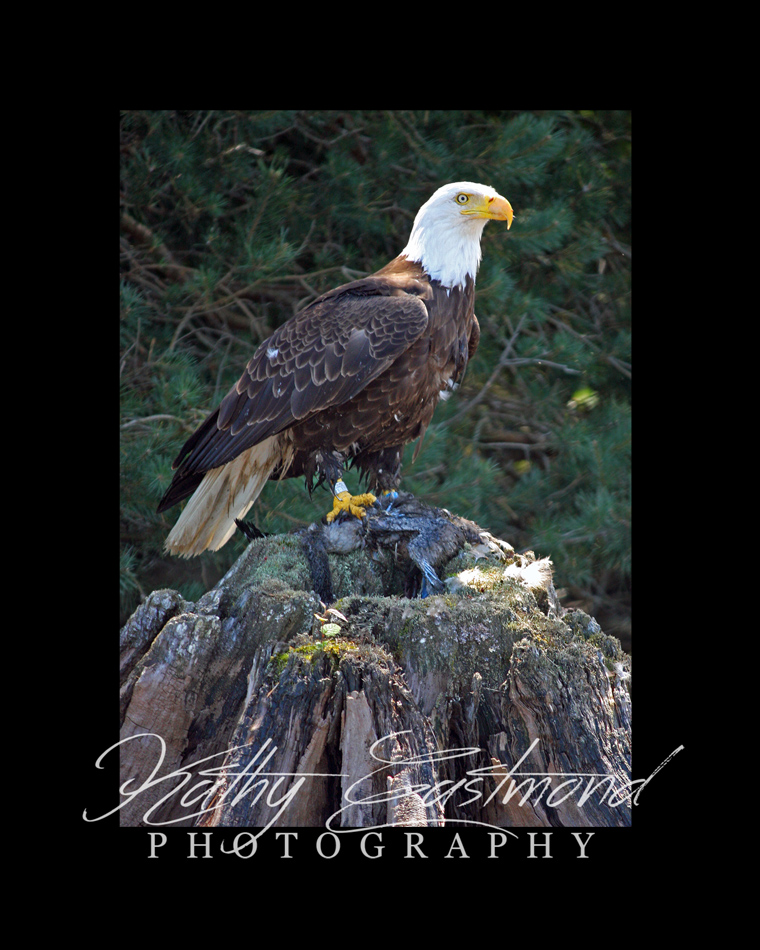 """Eagle at Carey Falls"" 5x7 print mounted on a black 8x10 acid-free matte for $20 with free shipping within the U.S.  (Kathy Eastmond's signature will replace the copyright  logo )"