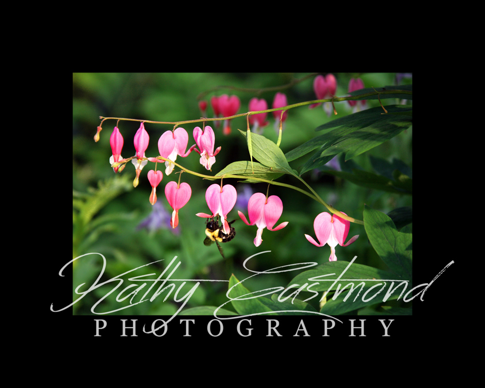 """Bleeding Hearts"" 5x7 print mounted on a black 8x10 acid-free matte for $20 with free shipping within the U.S.  (Kathy Eastmond's signature will replace the copyright  logo )"