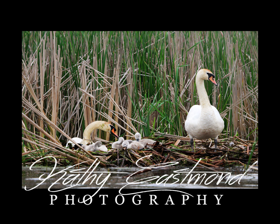 """Swan Family"" 5x7 print mounted on a black 8x10 acid-free matte for $20 with free shipping within the U.S.  (Kathy Eastmond's signature will replace the copyright logo)"