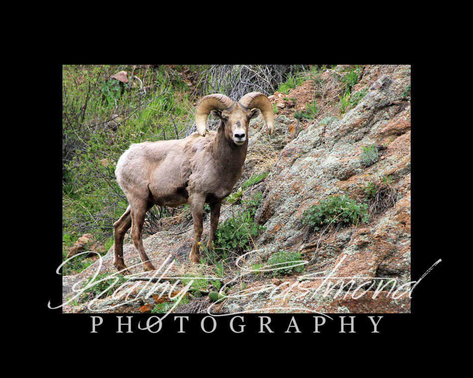 """Bighorn Sheep"" 5x7 print mounted on a black 8x10 acid-free matte for $20 with free shipping within the U.S.  (Kathy Eastmond's signature will replace the copyright  logo )"