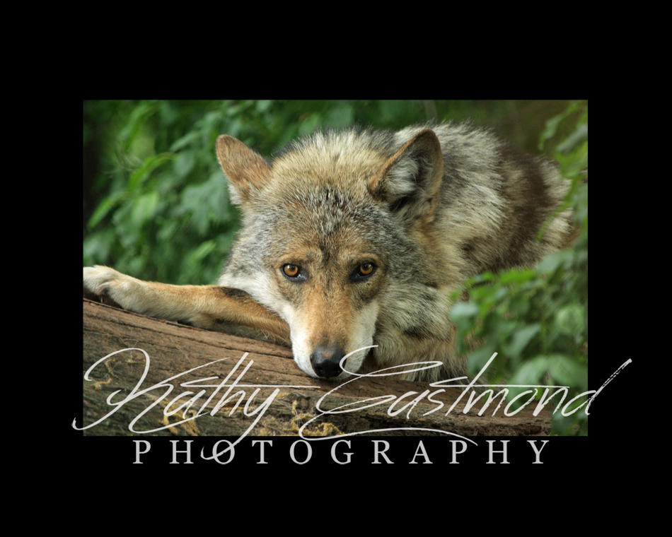 """Mexican Wolf"" 5x7 print mounted on a black 8x10 acid-free matte for $20 with free shipping within the U.S.  (Kathy Eastmond's signature will replace the copyright  logo )"