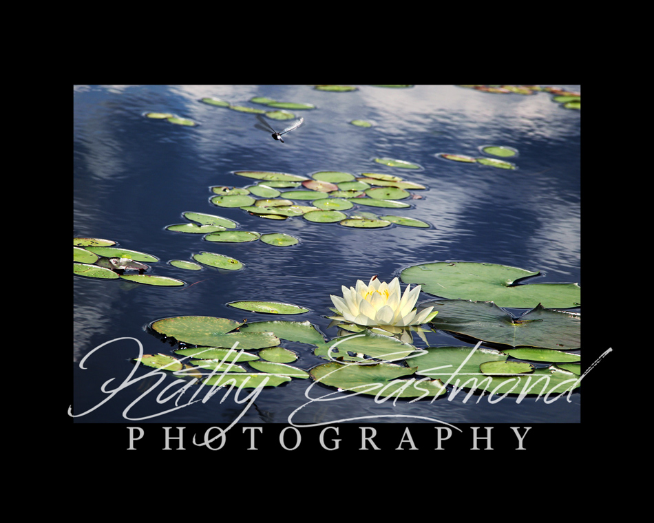 """Waterlily & Dragonfly"" 5x7 print mounted on a black 8x10 acid-free matte for $20 with free shipping within the U.S.  (Kathy Eastmond's signature will replace the copyright  logo )"