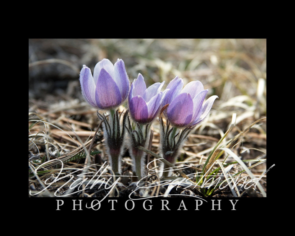 """""""Crocus"""" 5x7 print mounted on a black 8x10 acid-free matte for $20 with free shipping within the U.S.  (Kathy Eastmond's signature will replace the copyright  logo )"""