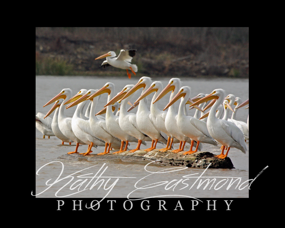 """Pelicans"" 5x7 print mounted on a black 8x10 acid-free matte for $20 with free shipping within the U.S.  (Kathy Eastmond's signature will replace the copyright  logo )"