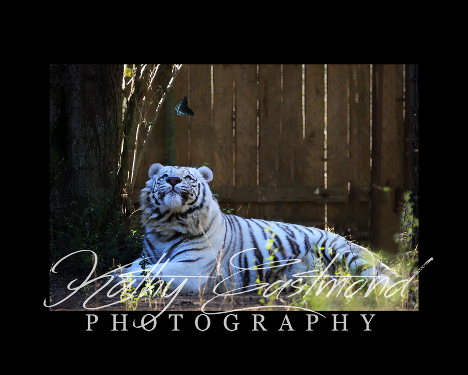 """White Tiger"" 5x7 print mounted on a black 8x10 acid-free matte for $20 with free shipping within the U.S.  (Kathy Eastmond's signature will replace the copyright logo)"