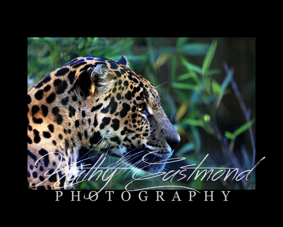 """Jaguar"" 5x7 print mounted on a black 8x10 acid-free matte for $20 with free shipping within the U.S.  (Kathy Eastmond's signature will replace the copyright  logo )"