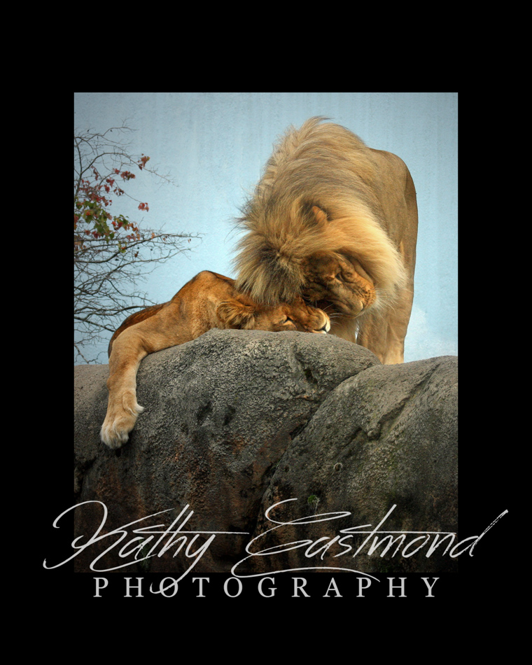 """Affectionate Lions"" 5x7 print mounted on a black 8x10 acid-free matte for $20 with free shipping within the U.S.  (Kathy Eastmond's signature will replace the copyright  logo )"