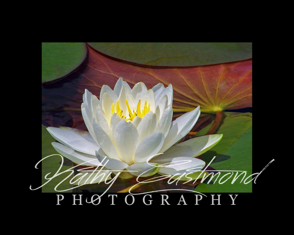 """Waterlily"" 5x7 print mounted on a black 8x10 acid-free matte for $20 with free shipping within the U.S.  (Kathy Eastmond's signature will replace the copyright  logo )"