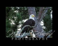 """""""Saranac Lake Eagle"""" 5x7 print mounted on a black 8x10 acid-free matte for $20 with free shipping within the U.S.  (Kathy Eastmond's signature will replace the copyright  logo )"""