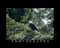 """""""Saranac Eagle"""" 5x7 print mounted on a black 8x10 acid-free matte for $20 with free shipping within the U.S.  (Kathy Eastmond's signature will replace the copyright  logo )"""