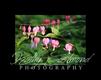 """""""Bleeding Hearts"""" 5x7 print mounted on a black 8x10 acid-free matte for $20 with free shipping within the U.S.  (Kathy Eastmond's signature will replace the copyright  logo )"""