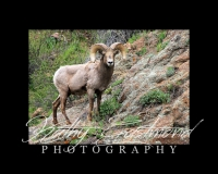 """""""Bighorn Sheep"""" 5x7 print mounted on a black 8x10 acid-free matte for $20 with free shipping within the U.S.  (Kathy Eastmond's signature will replace the copyright  logo )"""