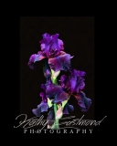 """""""Iris"""" 5x7 print mounted on a black 8x10 acid-free matte for $20 with free shipping within the U.S.  (Kathy Eastmond's signature will replace the copyright  logo )"""
