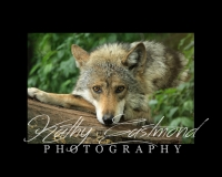 """""""Mexican Wolf"""" 5x7 print mounted on a black 8x10 acid-free matte for $20 with free shipping within the U.S.  (Kathy Eastmond's signature will replace the copyright  logo )"""