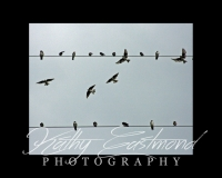 """""""Birds on a Wire"""" 5x7 print mounted on a black 8x10 acid-free matte for $20 with free shipping within the U.S.  (Kathy Eastmond's signature will replace the copyright  logo )"""