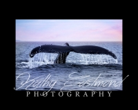 """""""Humpback"""" 5x7 print mounted on a black 8x10 acid-free matte for $20 with free shipping within the U.S.  (Kathy Eastmond's signature will replace the copyright  logo )"""