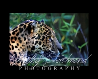 """""""Jaguar"""" 5x7 print mounted on a black 8x10 acid-free matte for $20 with free shipping within the U.S.  (Kathy Eastmond's signature will replace the copyright  logo )"""
