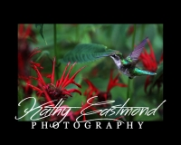"""Hummingbird"" 5x7 print mounted on a black 8x10 acid-free matte for $20 with free shipping within the U.S.  (Kathy Eastmond's signature will replace the copyright  logo )"